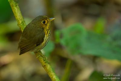 Ochre-breasted Antpitta - Mindo, Ecuador