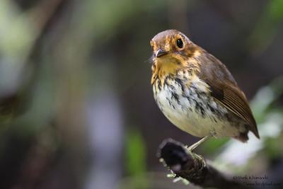 Ochre-breasted Antpitta - Angel Paz de las Aves - Nr. Mindo, Ecuador