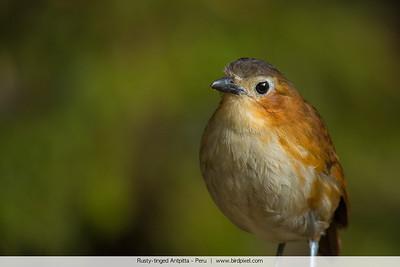 Rusty-tinged Antpitta - Peru