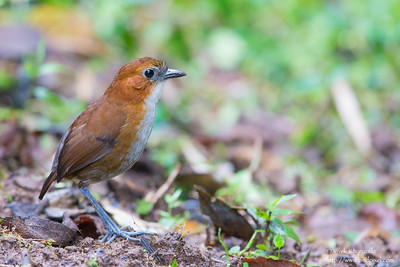 White-bellied Antpitta - San Isidro Lodge, Ecuador