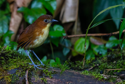 Yellow-breasted Antpitta - Angel Paz de las Aves, Nr. Mindo, Ecuador