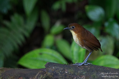 Yellow-breasted Antpitta - Mindo, Ecuador