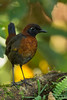 Rufous-breasted Antthrush - Mindo, Ecuador