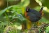 Rufous-breasted Antthrush - Mindo, Ecuador