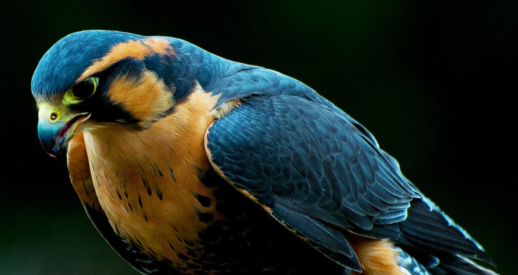 Aplomodo Falcon