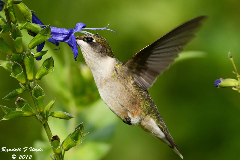 Ruby-throated Hummingbird and Salvia