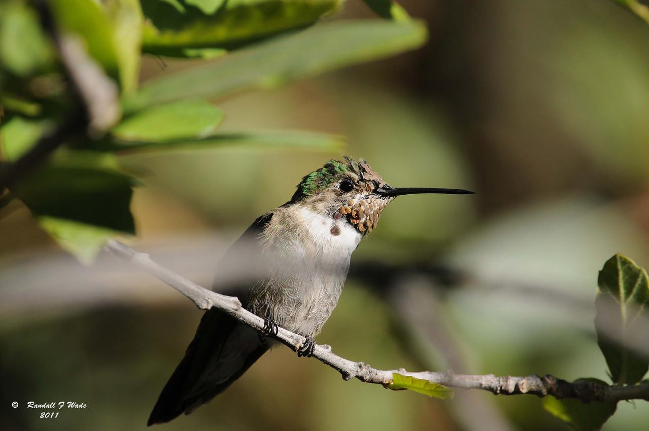 Broad-tailed Hummingbird, Immature