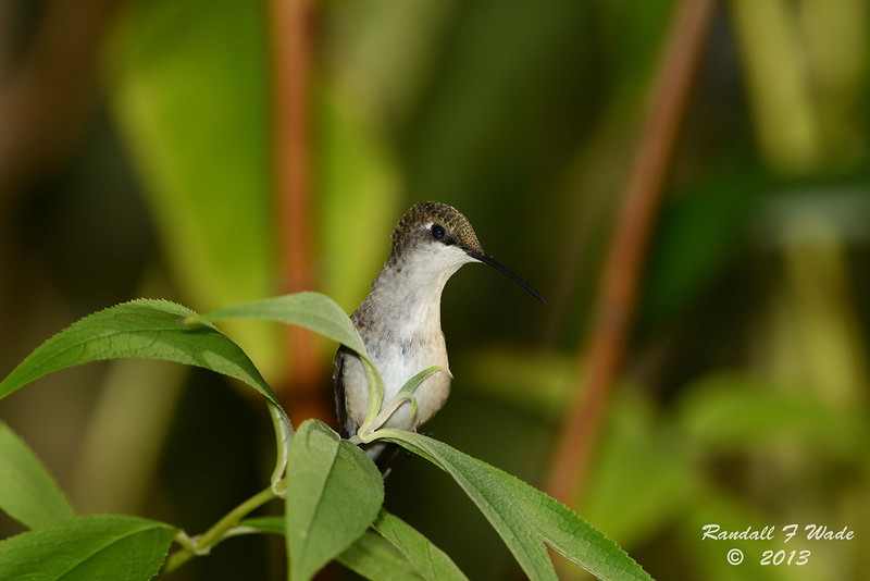 Immature Ruby-throated Hummingbird