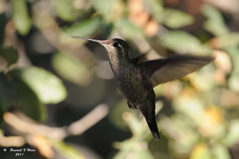 Female Rivoli's Hummingbird