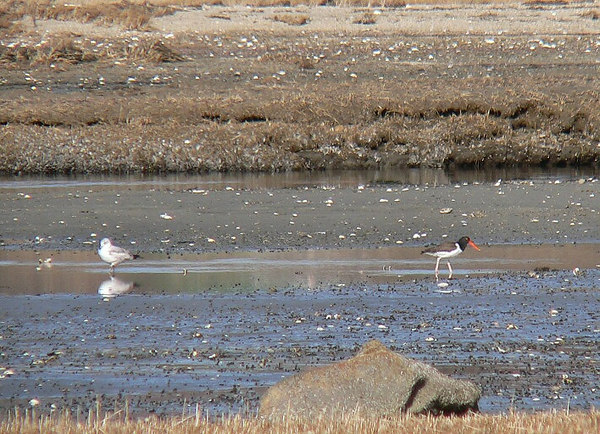 AMOY had got chased<br /> to New Bedford<br /> by 2 gulls. When he returned<br /> he charged at a gull