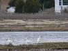 April 28, 2005--Hacker Street-- Snowy Egrets