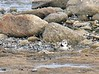 April 28, 2005--  after work- West Island Town Beach - Piping Plover