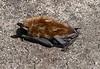 Poor little bat
