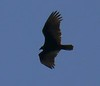 One of two Turkey Vultures