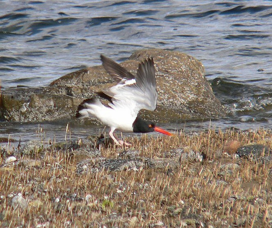 """AMOY at Winsegansett.<br /> Thought this bird was about to fly, but turns out she was issuing an """"invitation"""" to the male!"""
