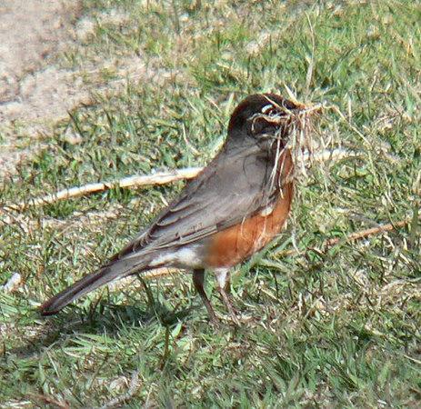 American Robin gathering nesting materials