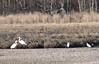 2 Snowy and 2 Great Egrets at marsh near town beach.