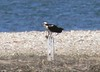 4/26   Male osprey with fish at Winsegansett....brought it to female