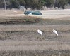 4/26   Great Egrets at Little Bay