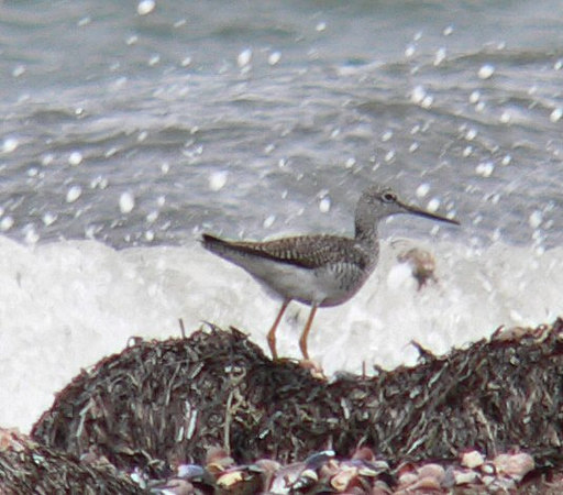 4/23 -- Greater Yellowlegs at West Island