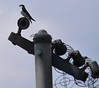 4/27 Mill Road Tree Swallow
