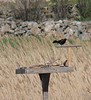 Grackle wants to be an osprey