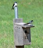 Tree swallows at Allen's Pond