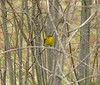 April 4 Pine Warbler at Long Road