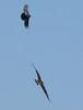 Crow (top) mobbing Osprey