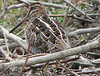 Snipe at Shaw's Cove Road