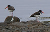Oystercatcher's opinion of me on interrupting romantic interlude