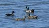 Pair of Wood Ducks and pair of Mallards at Atlas Tack