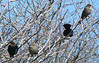 Male and female Brown-headed Cowbird at West Island....all singing.  April 7