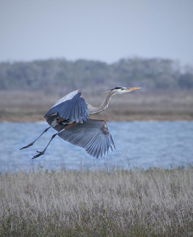 Great Blue Heron<br /> Aransas National Wildlife Refuge<br /> Texas<br /> 2013
