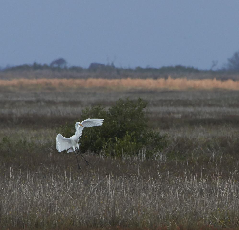 Egret<br /> Aransas National Wildlife Refuge<br /> Texas<br /> 2013