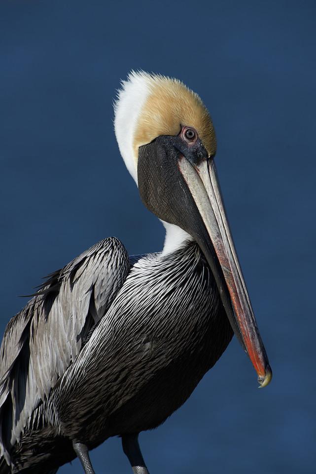 Brown Pelican<br /> Rockport, Texas<br /> 2013