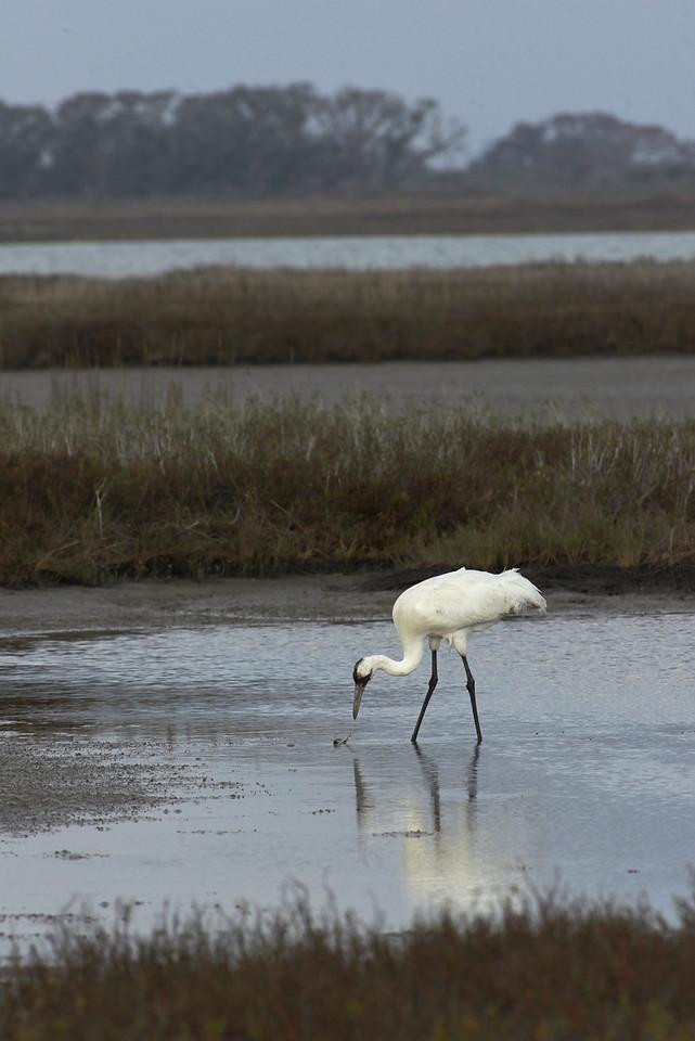 Crab v. Crane<br /> Aransas National Wildlife Refuge<br /> Texas<br /> 2013