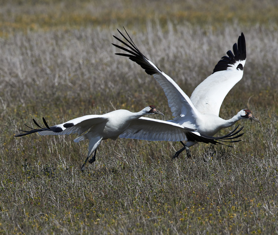 Whooping Cranes<br /> Aransas National Wildlife Refuge<br /> Texas<br /> 2013