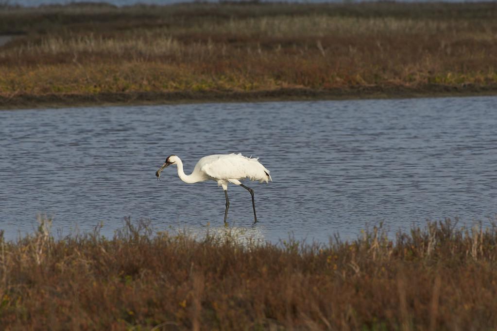 Crane and crab<br /> Aransas National Wildlife Refuge<br /> Texas<br /> 2013