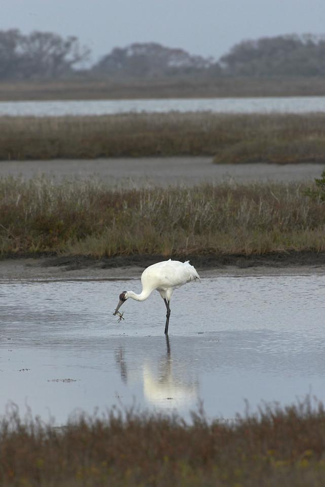 Crane vs. Crab<br /> Aransas National Wildlife Refuge<br /> Texas<br /> 2013