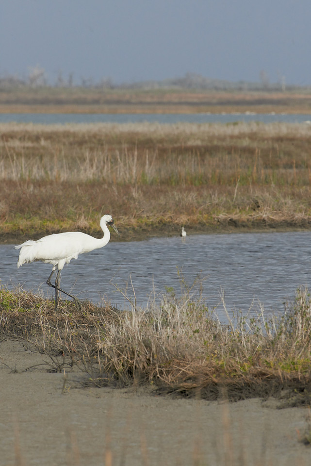 Whooping Crane<br /> Aransas National Wildlife Refuge<br /> Texas<br /> 2013
