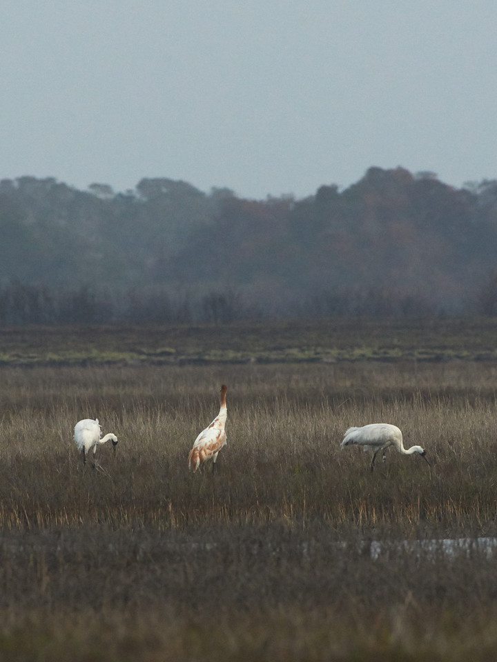 Two adult whooping cranes with a juvenile whooper.