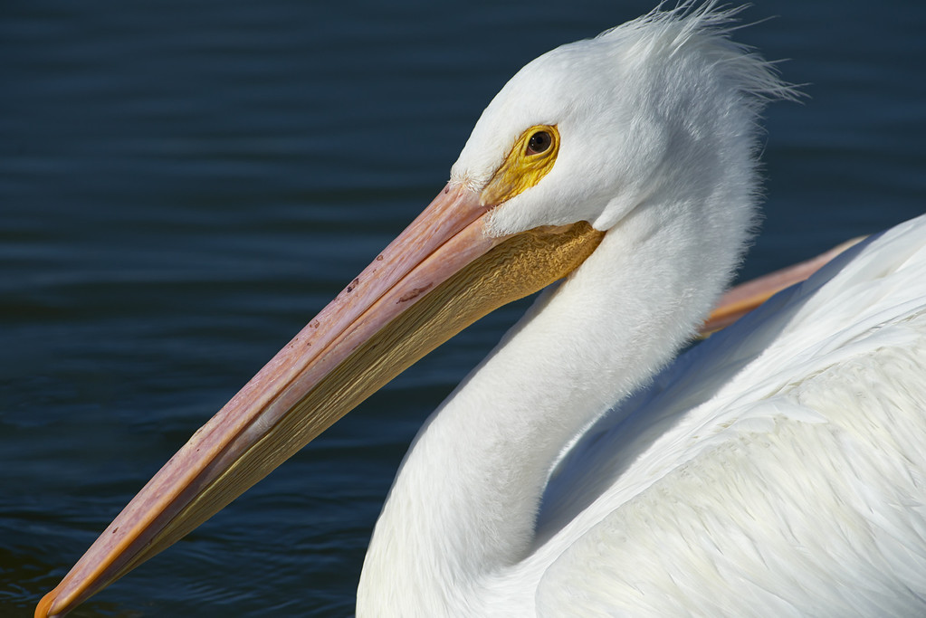 White Pelican<br /> Rockport, Texas <br /> 2013