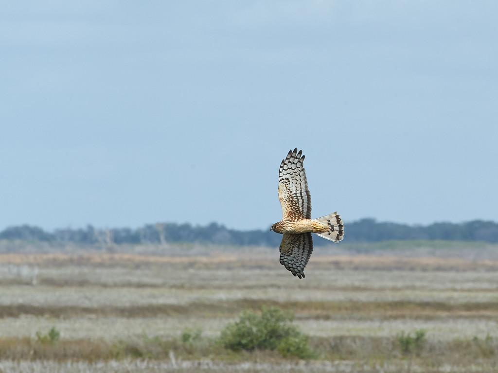 Northern Harrier<br /> Aransas National Wildlife Refuge<br /> Texas<br /> 2013