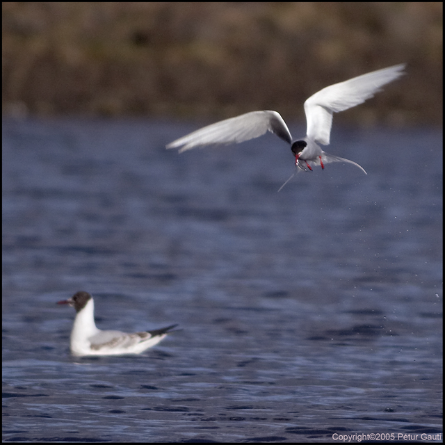 Coming up with the catch -<br /> Arctic Tern with a (?) sandeel.