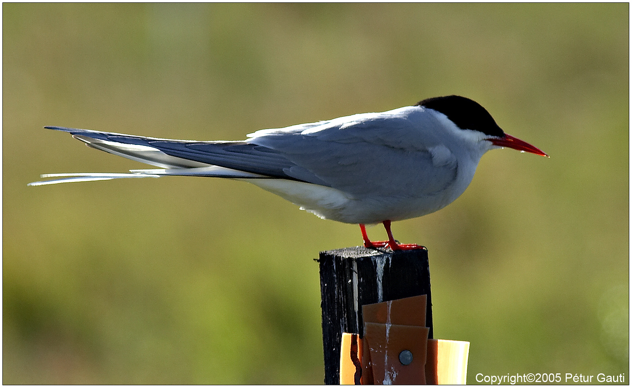 Arctic tern on a fencpost.<br /> Unfortunately the sharpest focus is on the tail.<br /> Live with it :)