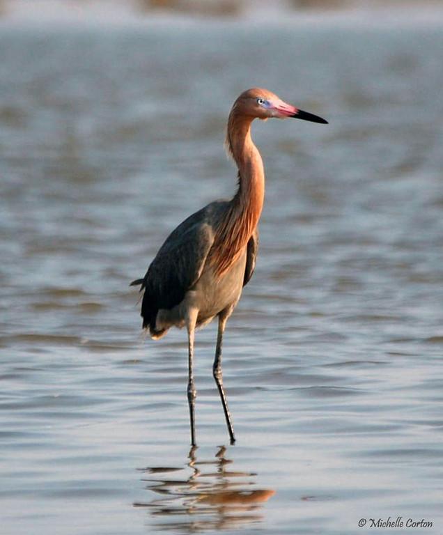 Reddish Egret -- Dark Morph