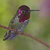 Male Costa's Hummingbird - Sonora Desert Museum Hummingbird Observatory
