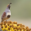 A male Gambel's Quail calling from the top of a flowering barrel cactus