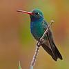 Male Broadbilled Hummingbird - Sonora Desert Museum Hummingbird Observatory